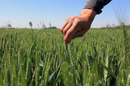 Photo pour Palm Touch Wheat, Close-up Photos - image libre de droit