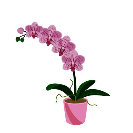 Illustration pour Pink orchid phalaenopsis exotic tropical flower in the pot  isolated on white background vector illustration. - image libre de droit