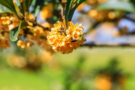 Photo for Ripe osmanthus in the garden in autumn - Royalty Free Image