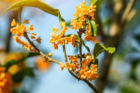 Photo for Sweet osmanthus flowers in the garden - Royalty Free Image