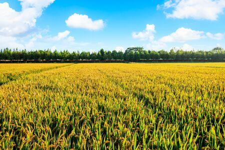 Photo pour Rice growing in the field in autumn - image libre de droit