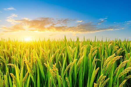 Photo pour Ripe rice in farmland at dusk in autumn - image libre de droit