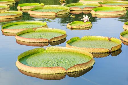 Photo pour Victoria lotus or King lotus leaves grow in the pond - image libre de droit