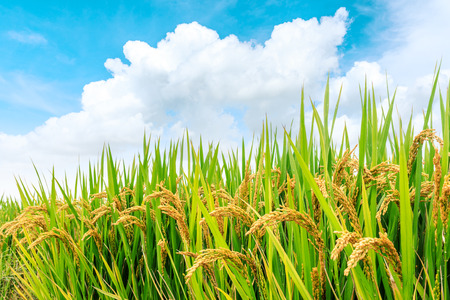 Photo for yellow ripe rice fields in the autumn season - Royalty Free Image