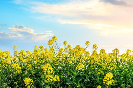 Photo pour beautiful yellow rape flowers on a background of blue sky - image libre de droit