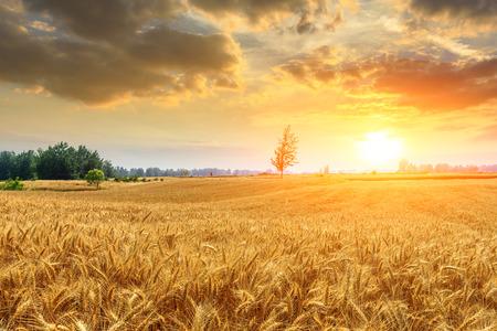 Photo pour Wheat crop field sunset landscape - image libre de droit