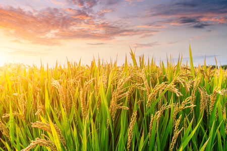 Photo for Ripe rice field and sky background at sunset time with sun rays - Royalty Free Image