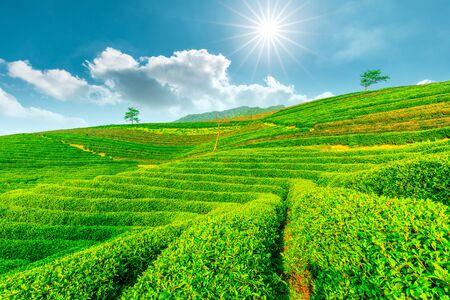 Photo pour Tea plantation on sunny day, green nature landscape. - image libre de droit
