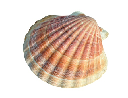 A scallop is a marine bivalve mollusc of the family Pectinidae. Scallops are a cosmopolitan family, found in all of the world's oceans. Many scallops are highly prized as a food source. The brightly colored, fan-shaped shells of some scallops, with their