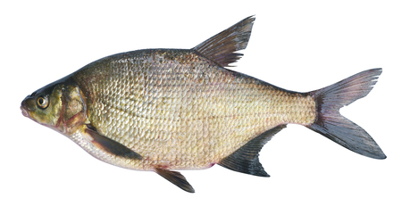 Photo pour Bream ( Abramis brama ) on a white background . Adult female before spawning . Weight of fish - 2130 grams. Place catch - Oka River , Irkutsk region . Harvest date - 14/06/2016 - image libre de droit