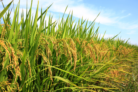 Photo for paddy field - Royalty Free Image