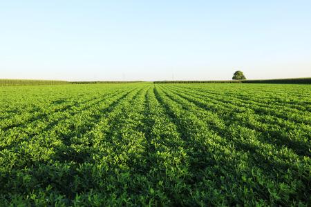 Foto de The peanut growing in the field - Imagen libre de derechos