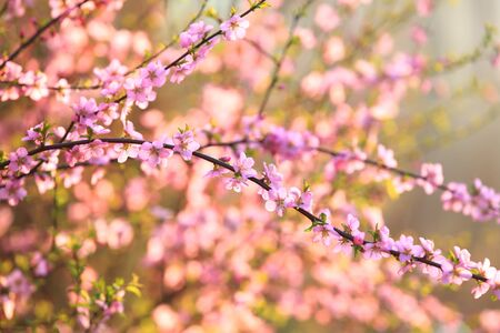 Photo pour In spring, the plum trees bloom, Peach blossoms in bloom - image libre de droit