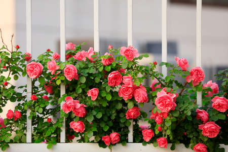 Photo pour summer, The roses are in full bloom close-up - image libre de droit