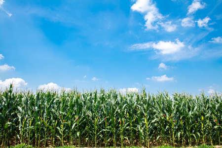 The corn grew in the field, the corn in the blue sky