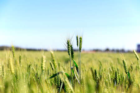 Photo pour The green wheat fields, growing, full of vitality - image libre de droit