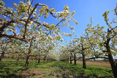 Foto für The pear trees blossom in spring - Lizenzfreies Bild