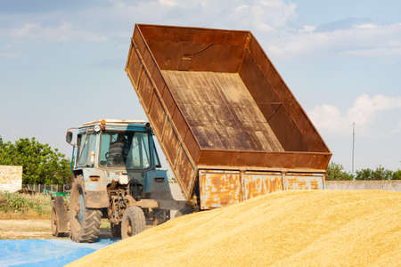 Photo for Concept - Grain Harvesting and agricultural equipment 2020. A blue tractor on a farm territory unloads a grain trailer onto a large pile of barley - Royalty Free Image