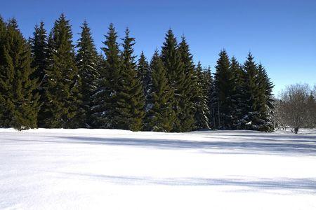 winter conifers