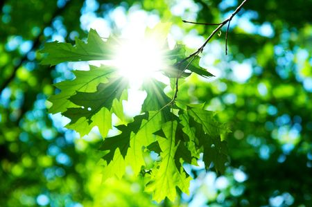 green leaves of maple on blue sky background