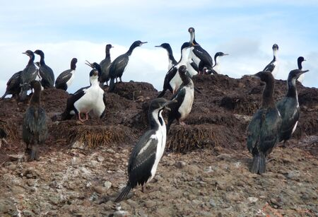 Photo for Colony of Magellanic or rock cormorants, Beagle Channel, Patagonia - Royalty Free Image