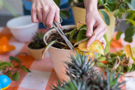 Photo for A girl is engaged in pruning house plants, a woman is cutting yellow leaves, a girl is caring for indoor plants, a home greenhouse, potted plant - Royalty Free Image