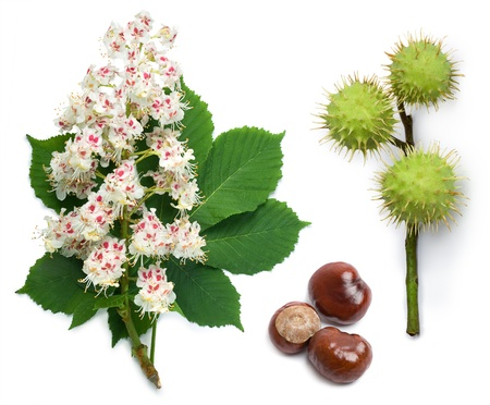 Horse-chestnut (Aesculus hippocastanum, Conker tree) flowers, leaf and seeds on a white background