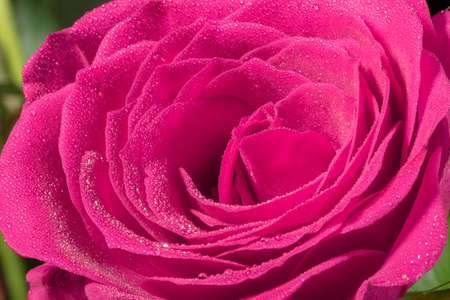 Foto de Macro shot o frose flower petal with water droplets, abstract floral backgrounds. - Imagen libre de derechos