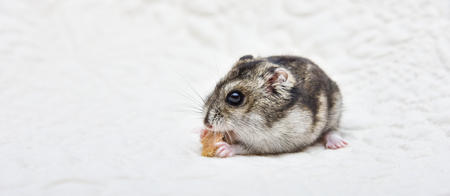 hamster eating seeded bread on a chopping board Gray hamster eating bread