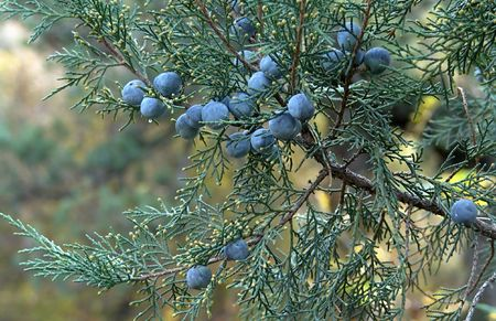 Ripe berries of the juniper. Photography.