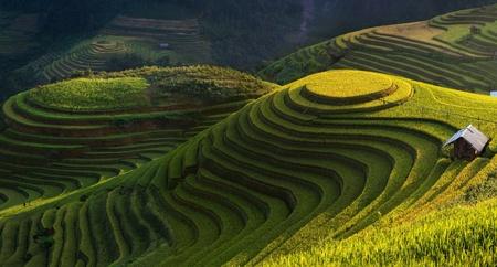 Green rice in Vietnam.