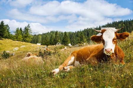 Freely grazing domestic and healthy cows on an idyllic sunny summer mountain pasture wit alpine cottages in the background. Free range, organic cattle farming and agriculture concept.