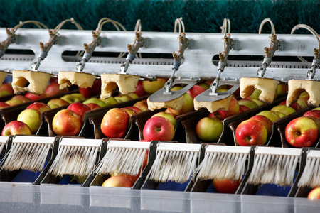 Photo for Clean and fresh apples on conveyor belt in food processing facility, ready for automated packing. Healthy fruits, food production and automated food industry concept. - Royalty Free Image