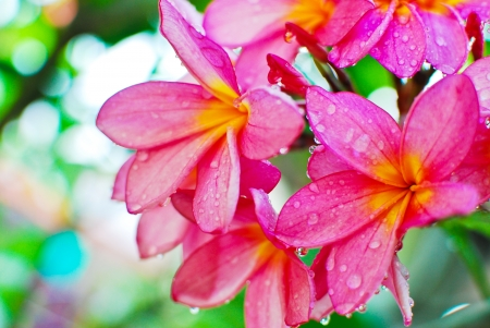 Photo for Plumeria flower in garden closeup view background - Royalty Free Image