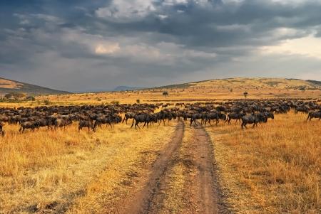 Antelopes wildebeest crossing the road  Great migration  Kenya