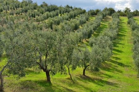 Idyllic Tuscan rural  landscape  with olives trees, Vall d