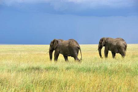 Two adult african elephants in savannah Serengeti Tanzania
