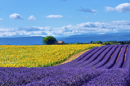 Stunning rural landscape with lavender field, sunflower field and old farmhouse on background. Plateau of Valensole, Provence, France