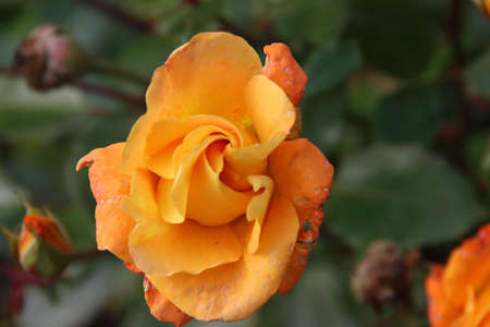 Photo for Orange rose type Westzeit in the rosarium in Boskoop in the Netherlands - Royalty Free Image