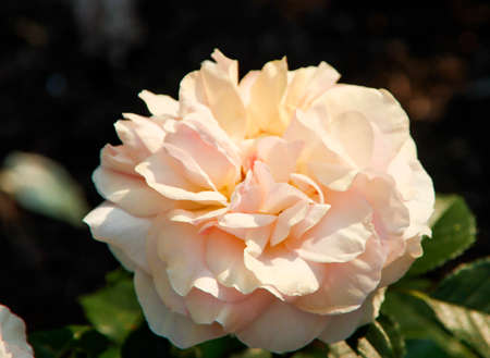 Foto per Rose garden Guldemondplantsoen as national monument in Boskoop in the Netherlands with rose variety Salmon Romanza - Immagine Royalty Free