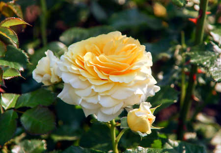 Foto per Rose garden Guldemondplantsoen as national monument in Boskoop in the Netherlands with rose variety Yellow Romanza - Immagine Royalty Free