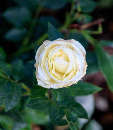 Foto per Flower of a rose in the Guldemondplantsoen Rosariu, in Boskoop of the type White Romanza - Immagine Royalty Free