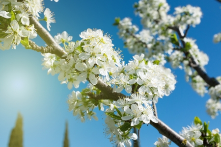 Foto für flowers bloom on a branch of pear against blue sky  - Lizenzfreies Bild