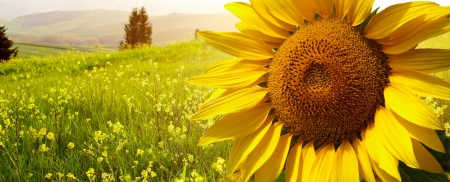 Foto de landscape with sunflowers in Tuscany, Italy  - Imagen libre de derechos