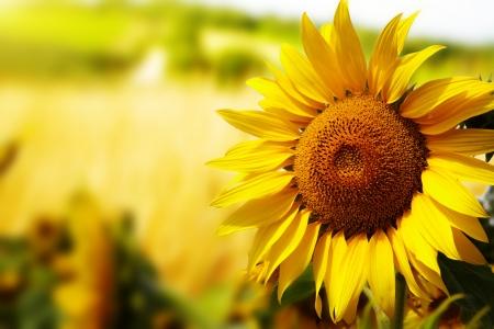 Foto de Tuscany sunflowers  - Imagen libre de derechos