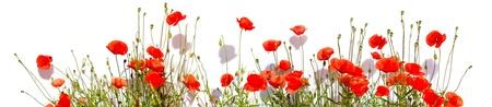 Extra large horizontal frame of poppies isolated on white background.