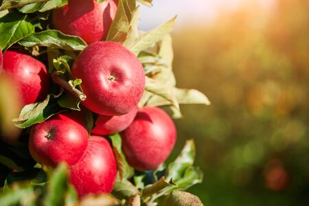 Foto für picture of a Ripe Apples in Orchard ready for harvesting,Morning shot - Lizenzfreies Bild