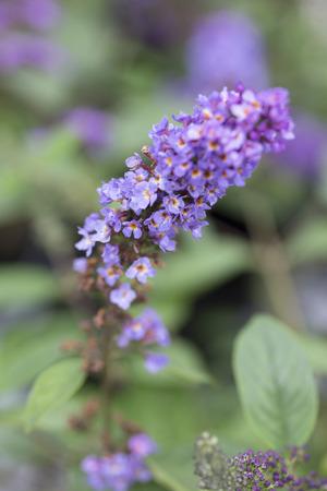 Butterfly Bush - Lo & Behold - Blue Chip Jr.