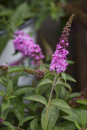 Butterfly Bush - Lo & Behold - Pink Micro Chip