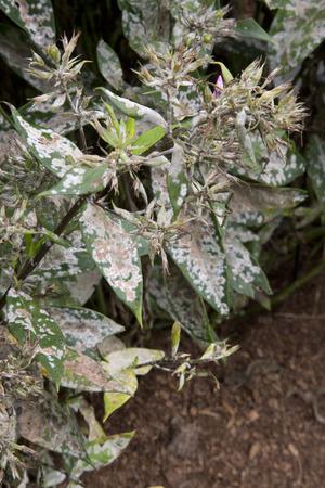 Diseased leaves of plant - Phlox - Watermelon Punch